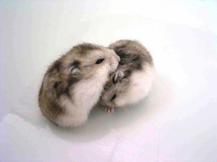 маленькие новорожденные хомяки