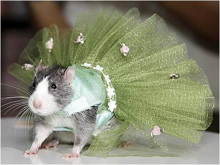 крыса в платье