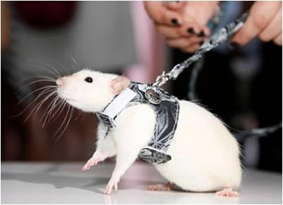Крыса на поводке и в платье