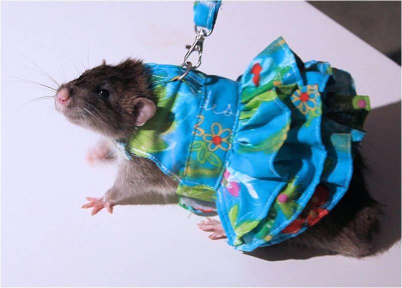 Платье, крыса на поводке в одежде
