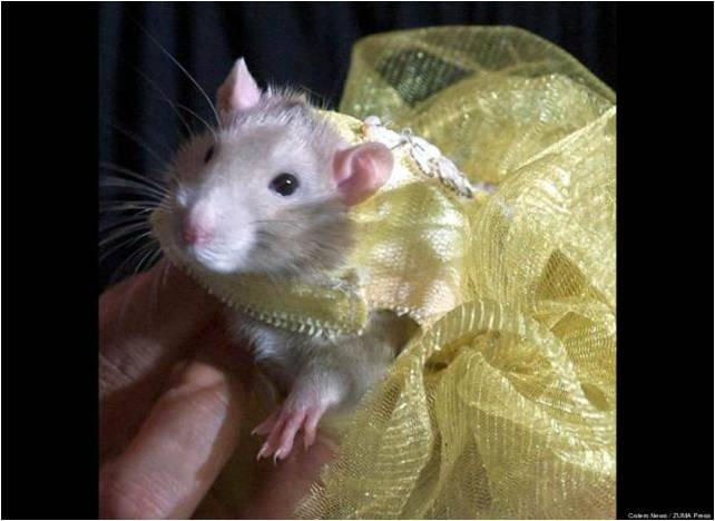 Крыска в платье