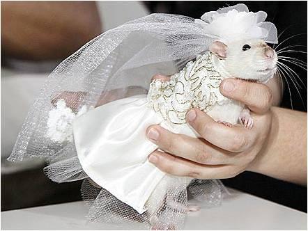 Крыса в свадебном платье