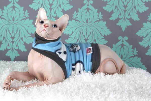 #Сфинкс -красивая кошка в одежде