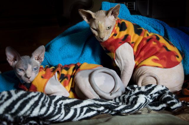 #Пара кошек сфинксов в одежде