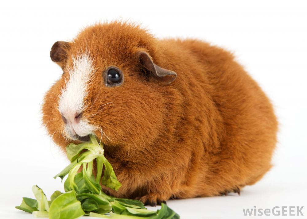 Морская свинка ест