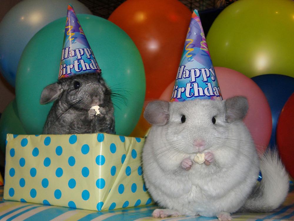 Шиншиллы день рождения