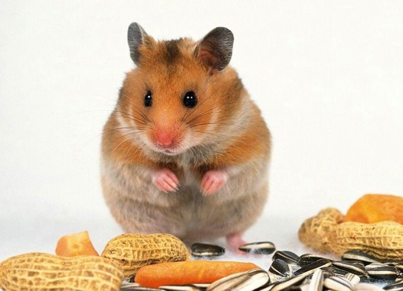 Хомяк есть семечки о орехи