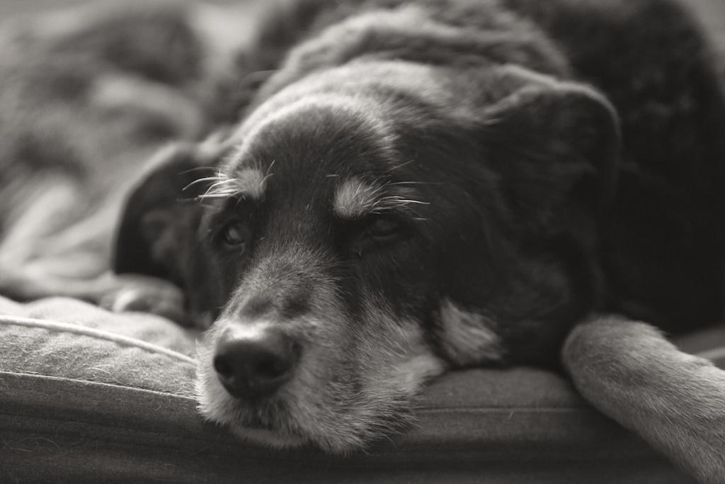 Старая собака в доме