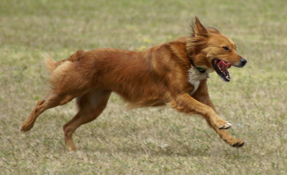 Собака красиво бежит