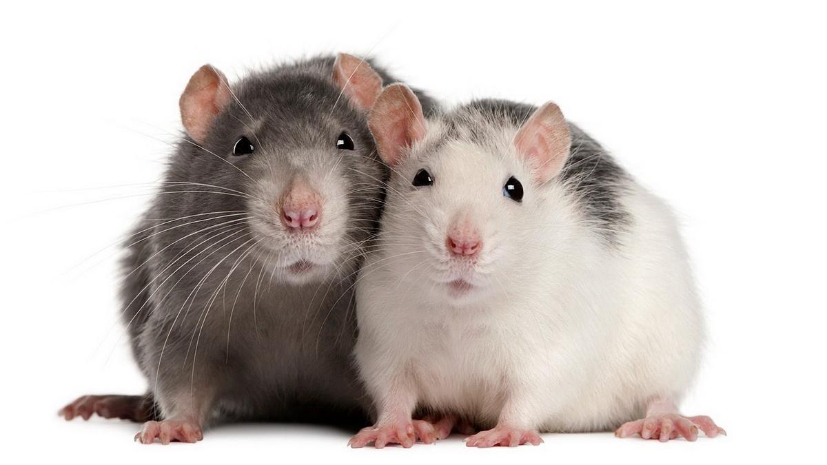 красивые крыски
