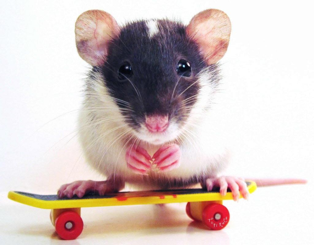 крыска на скейте