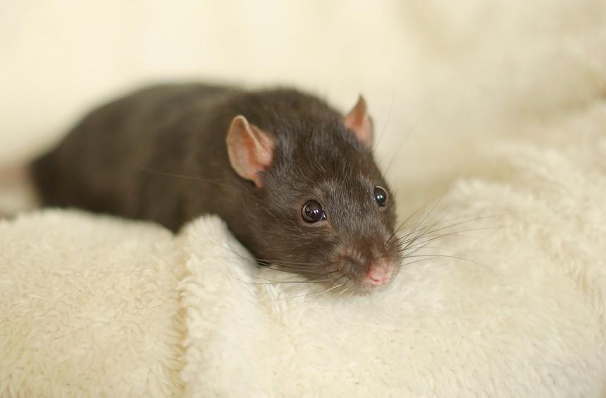 Серая крыска