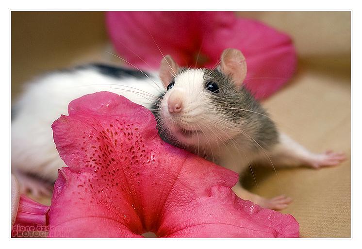 Крыска и цветочек