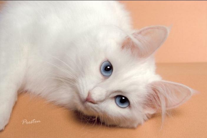 кошка ангора
