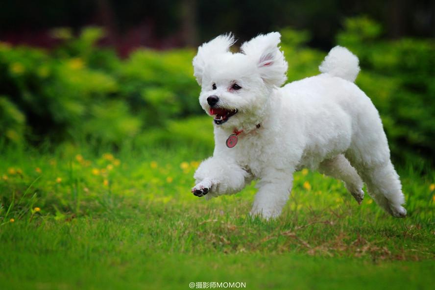собака пудель
