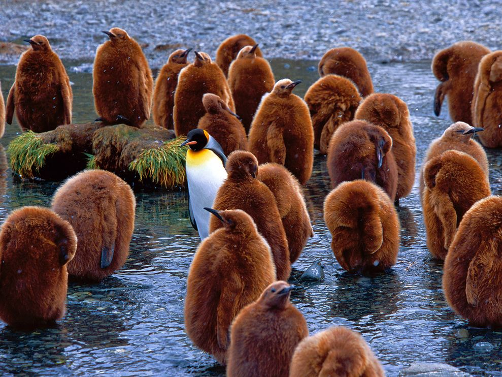 птица пингвин