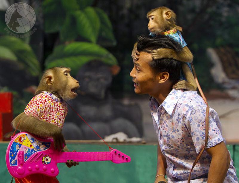 Teatralnoe_shou_obezjan_v_Tailande